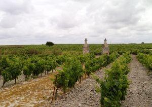 70 jaar oude stokken in Miraflores wijngaard