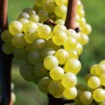 Wijnbouw: de druif, de kern