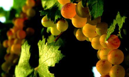 Special: Wijn uit Corsica – volop in beweging