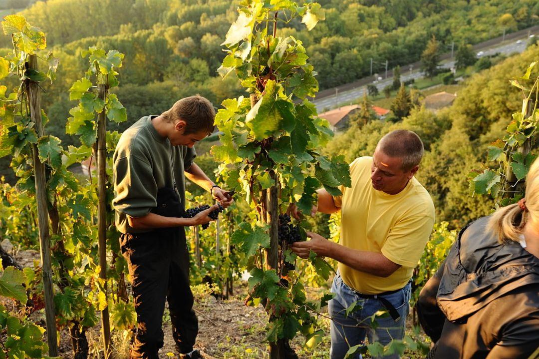 Oogst in de steile wijngaard