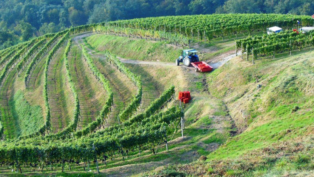 Oogst in de Osso San Grato wijngaard