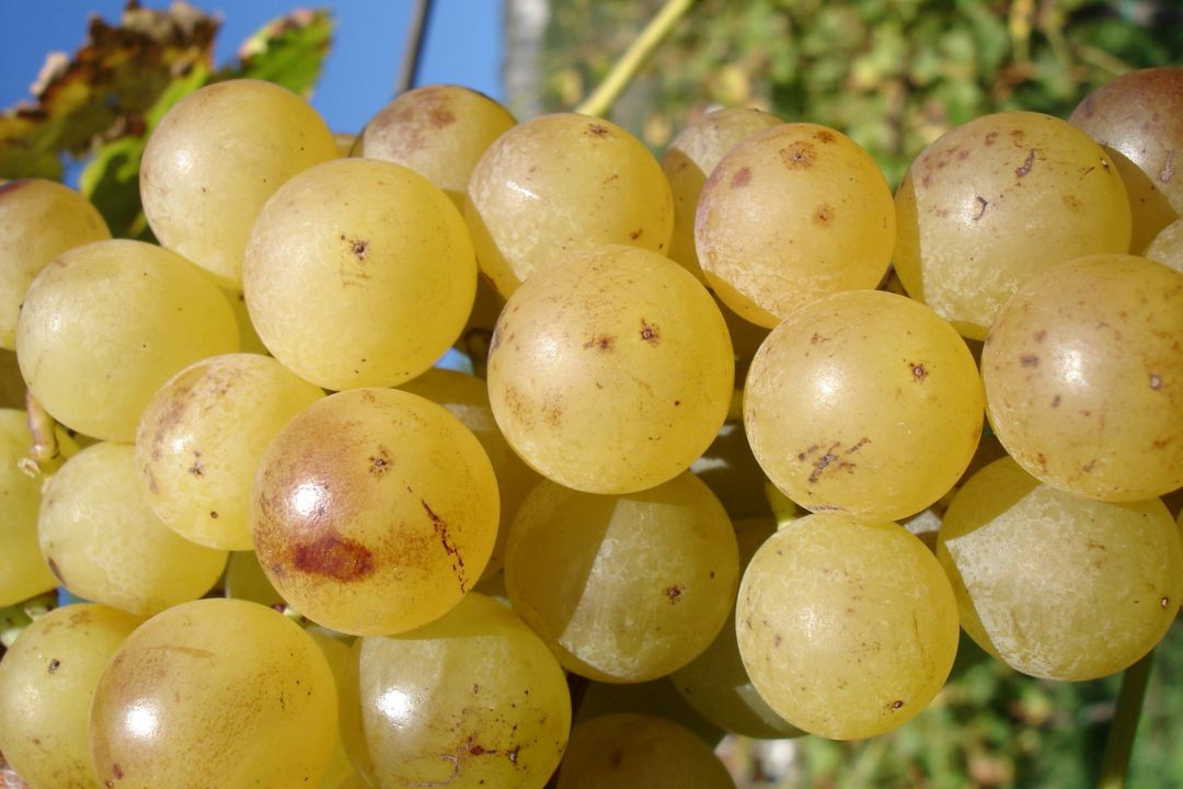 Malvazija-druiven (foto: Klabjan)