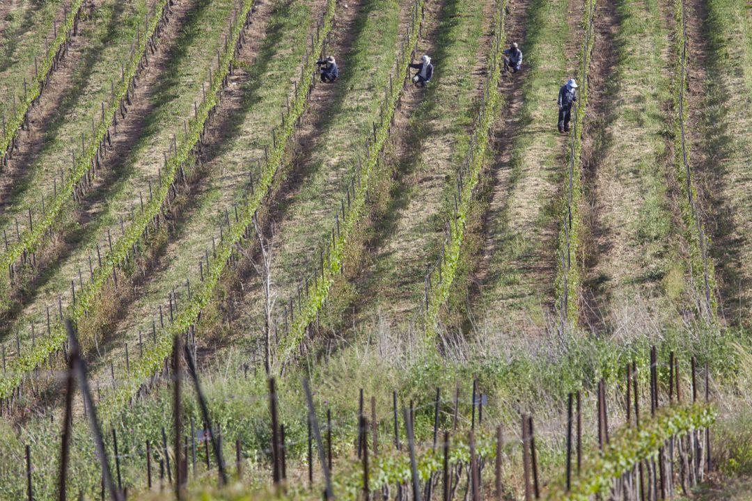 Wijngaard Upper Galilee