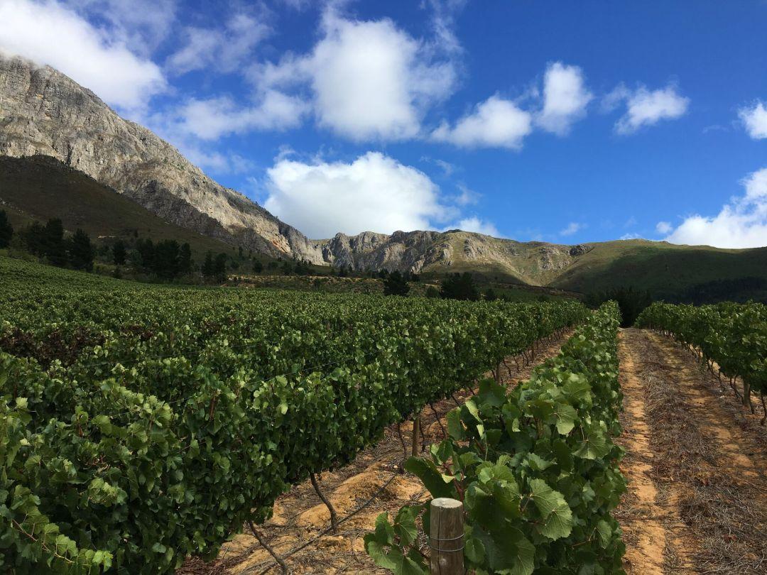 Wijngaard van JH Meyer Wines in Swartland