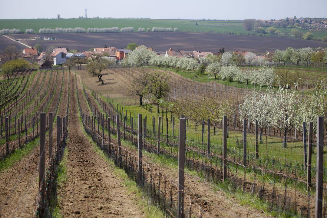Wijngaard van Krasna Hora