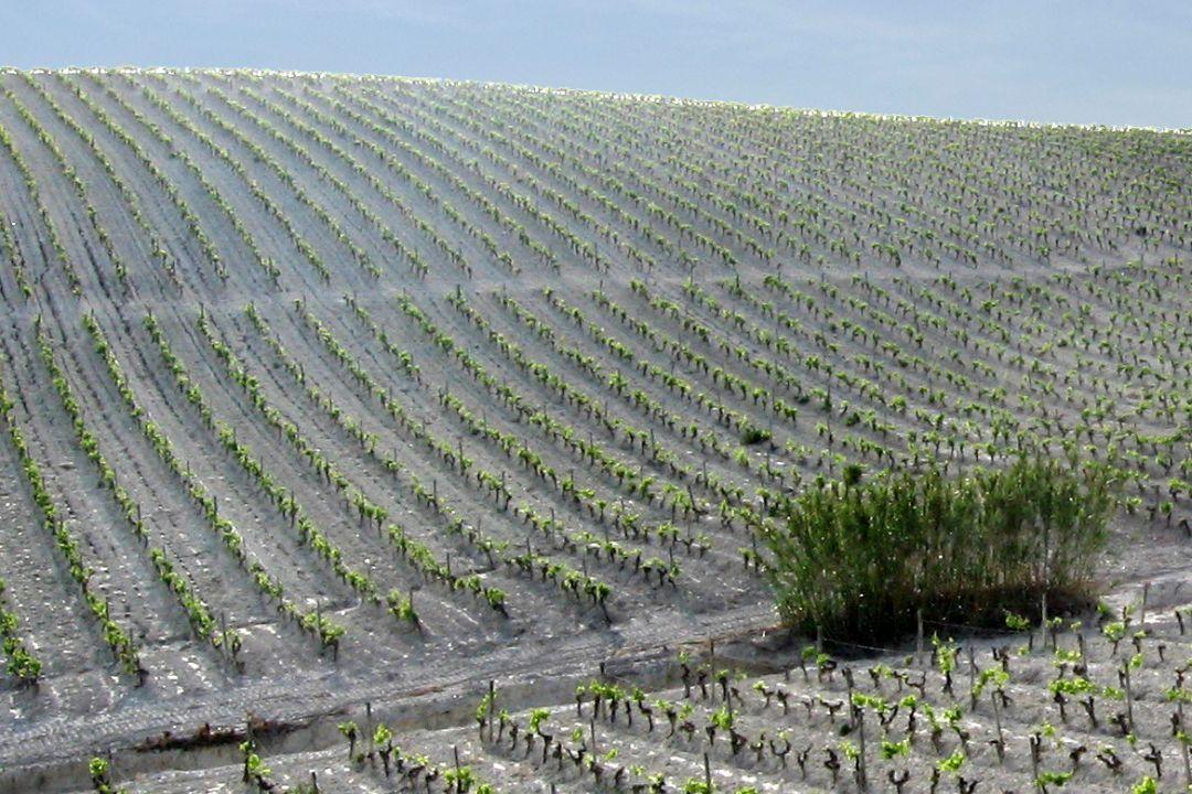 De Macharnudo Alto wijngaard