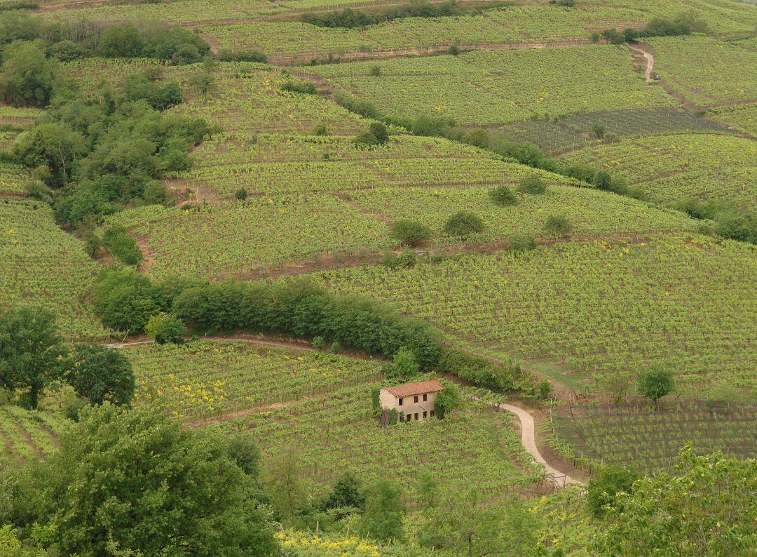 calvarino wijngaard