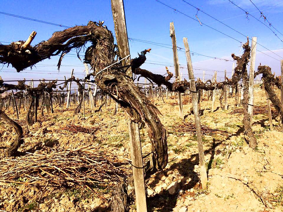 oude wijnstokken