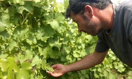 Zuivere wijnen van Pierre Ache