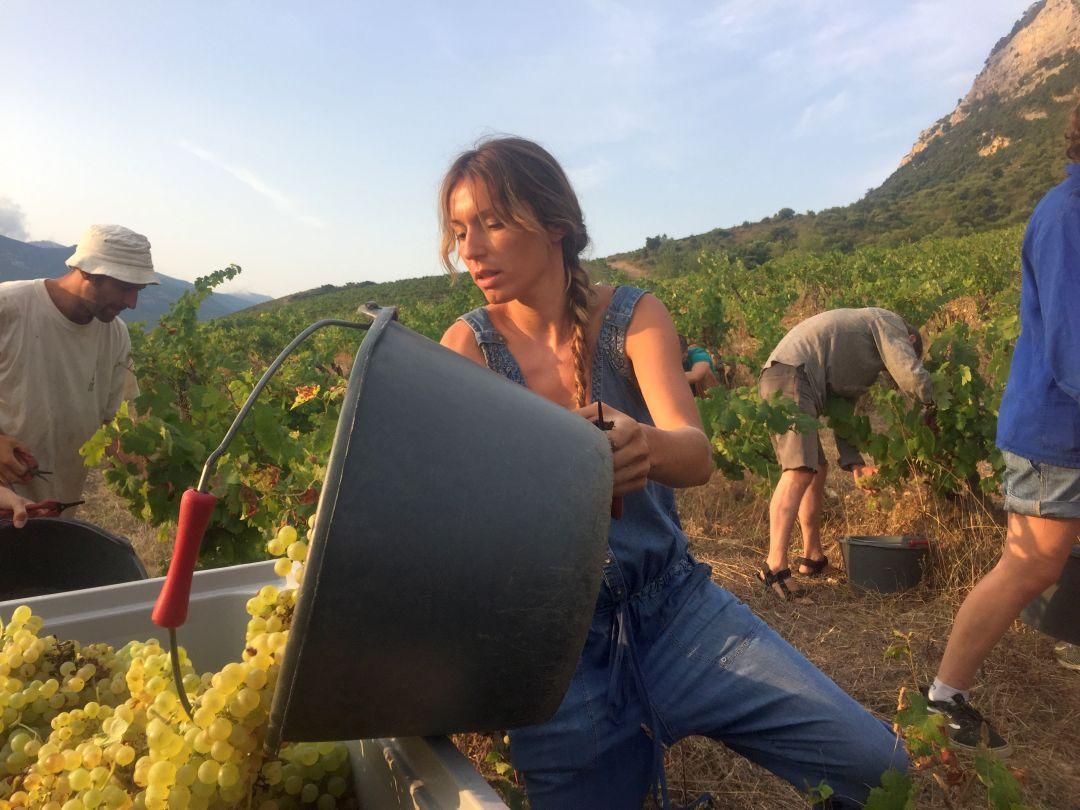 Oogst bij Cantina di Torra, Corsica