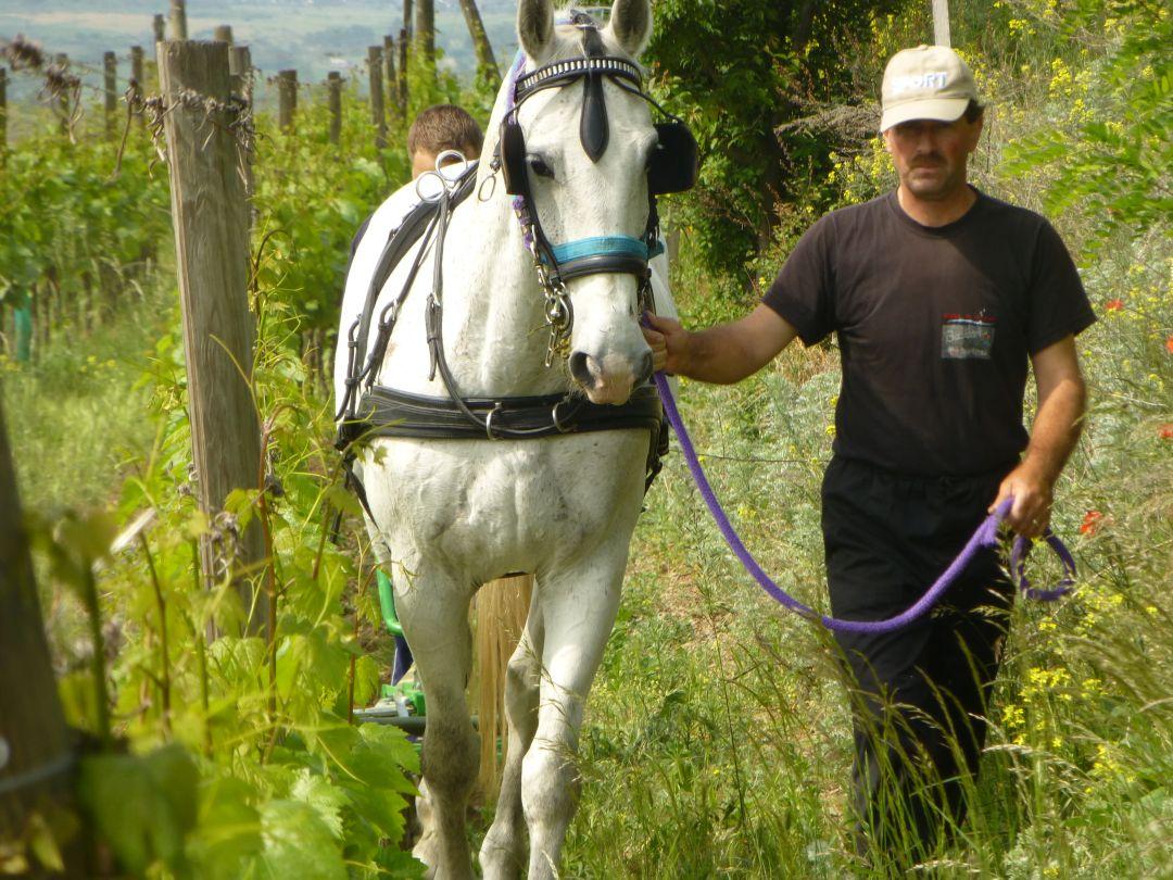 paard in de wijngaard