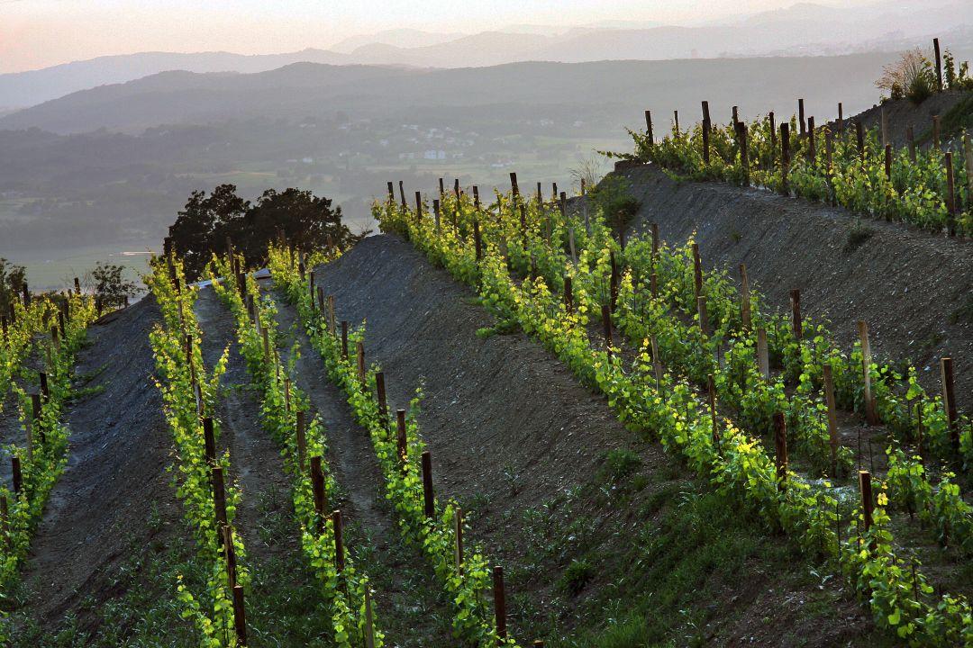 Angel-wijngaard van Batic