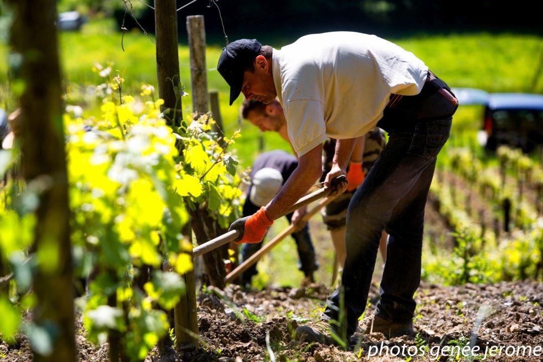 wijngaard Jura