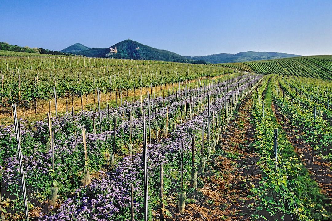 wijngaarden bij Ribeauvillé
