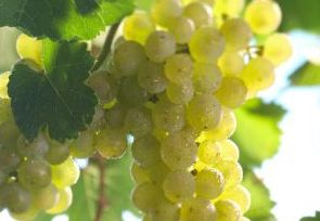 De zes smaken van wijn: zuur