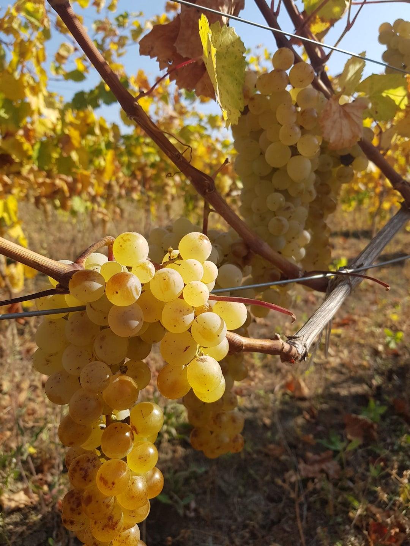 Goruli mtsvane-wijngaard, Winiveria