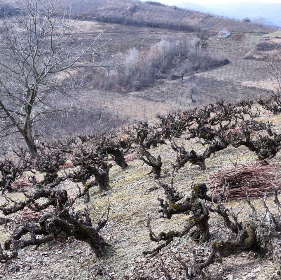 Oude wijnstokken van het wijngoed Vujic